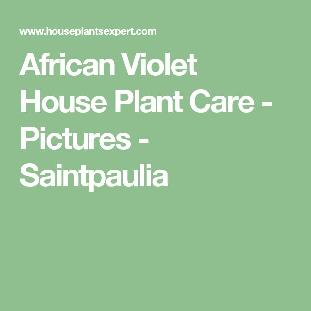 African Violet House Plant Care - Pictures - Saintpaulia
