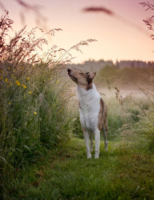 I love how this photo is set up.  Great pic of a smooth coated collie (I think).  #dogs