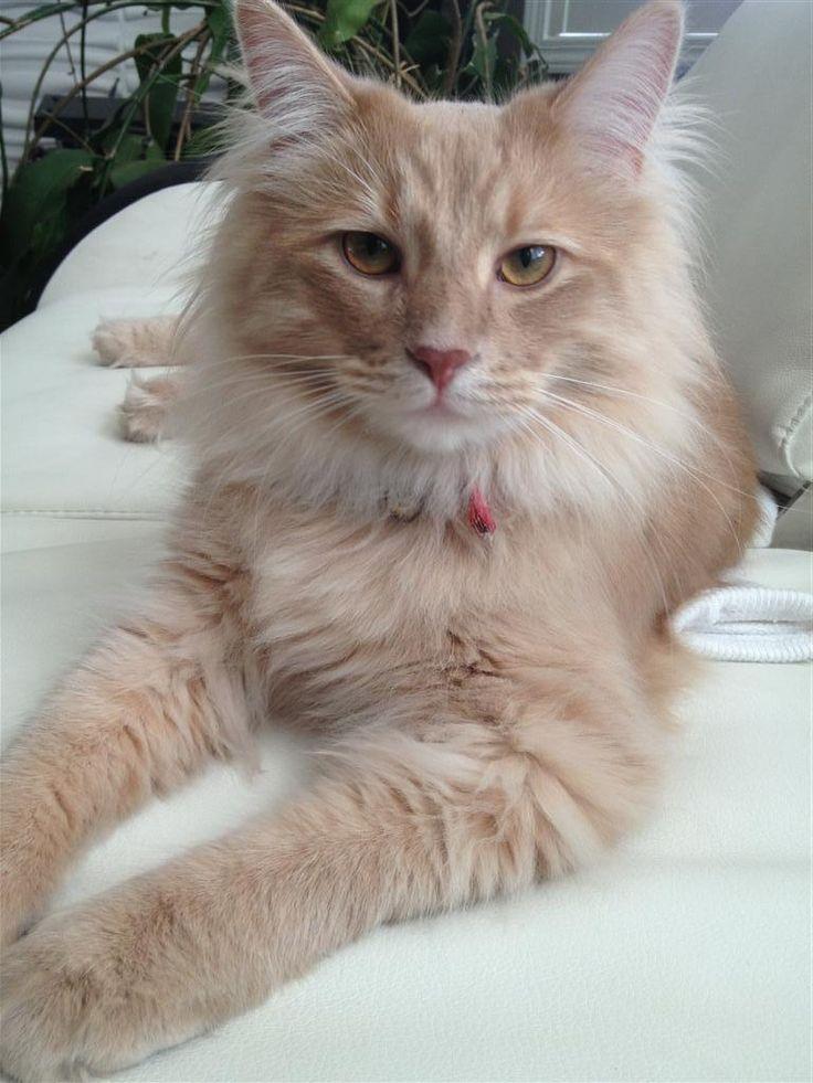 Lost Cat - Domestic Long Hair - Burlington, ON, Canada L7M 0B9