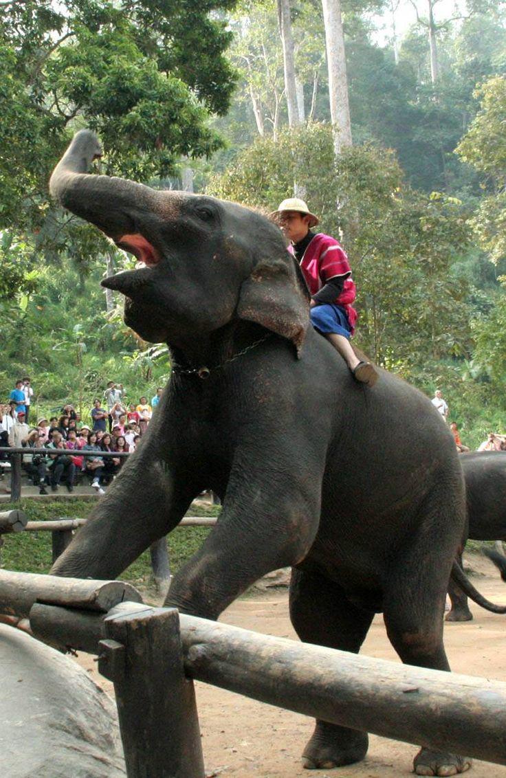 象の水浴び、サッカー、お絵描きなどのショーを楽しむことができるメーサーエレファントキャンプ。チェンマイ 旅行・観光の見所。