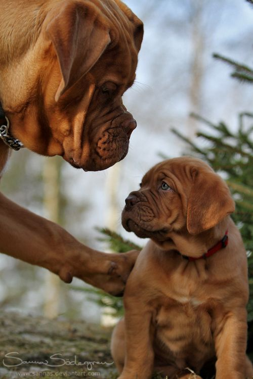 Parenting...French Mastiff, Puppies, Friends, Dogs, So Sweets, The Talk, Bordeaux, Fathers And Sons, Animal