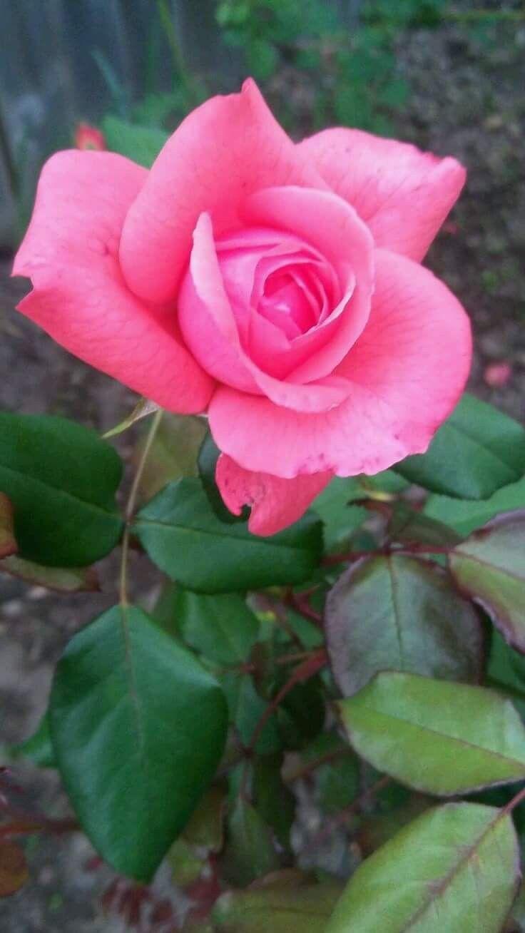 Pin By Gaara Des Sables On Fleur Pinterest Pink Roses Beautiful