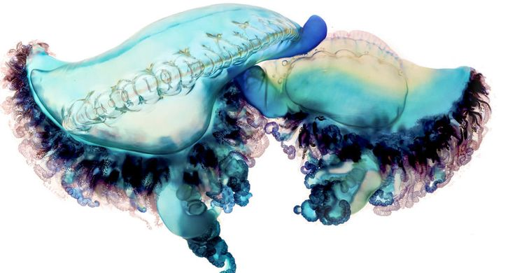 men-of-war-jellyfish-as-fine-art-4