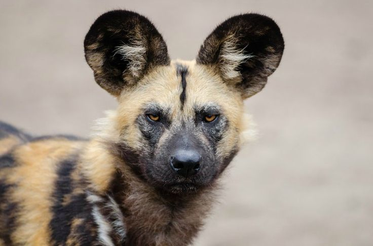 The Endagered African Wild dog