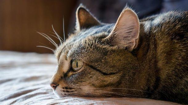 Viele Krankheiten, die auch der Mensch bekommen kann, sind auch typische Katzenkrankheiten. Gegen einige kann man das Tier schützen.  (Quelle: Thinkstock by Getty-Images)