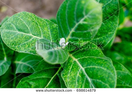 Medicinal Plant : Calotropis Gigantea known as Madar in India