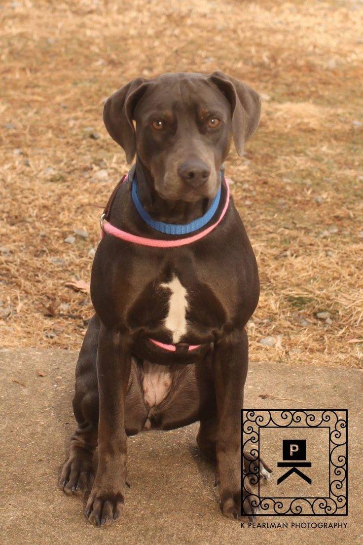 Doberman Pinscher dog for Adoption in Fredericksburg, VA