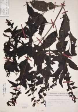 Dasistoma macrophylla (Mullien foxglove)