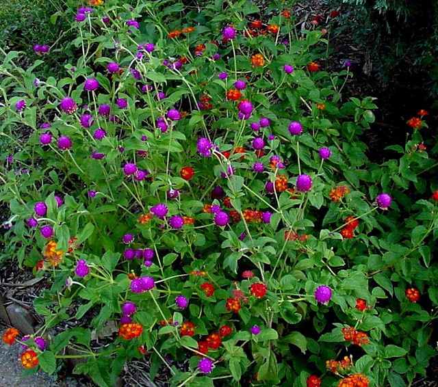lantana camara and gomphrena globosa -Native Texas plants
