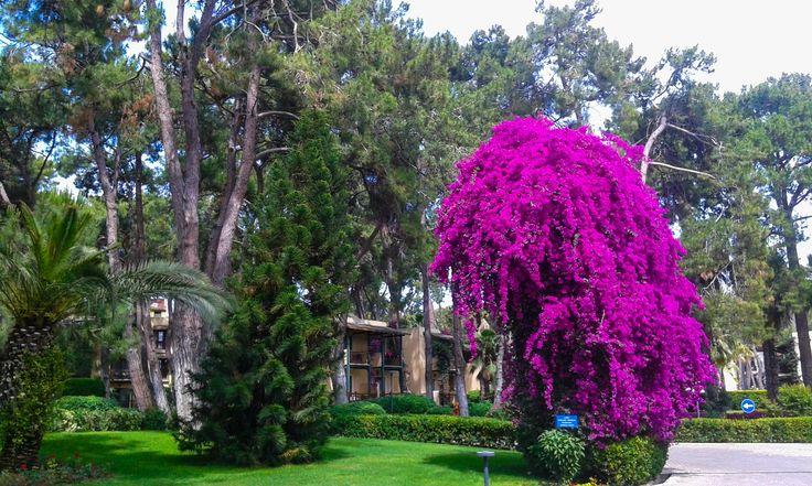 Begonvil tree @ Turquoise Hotel.