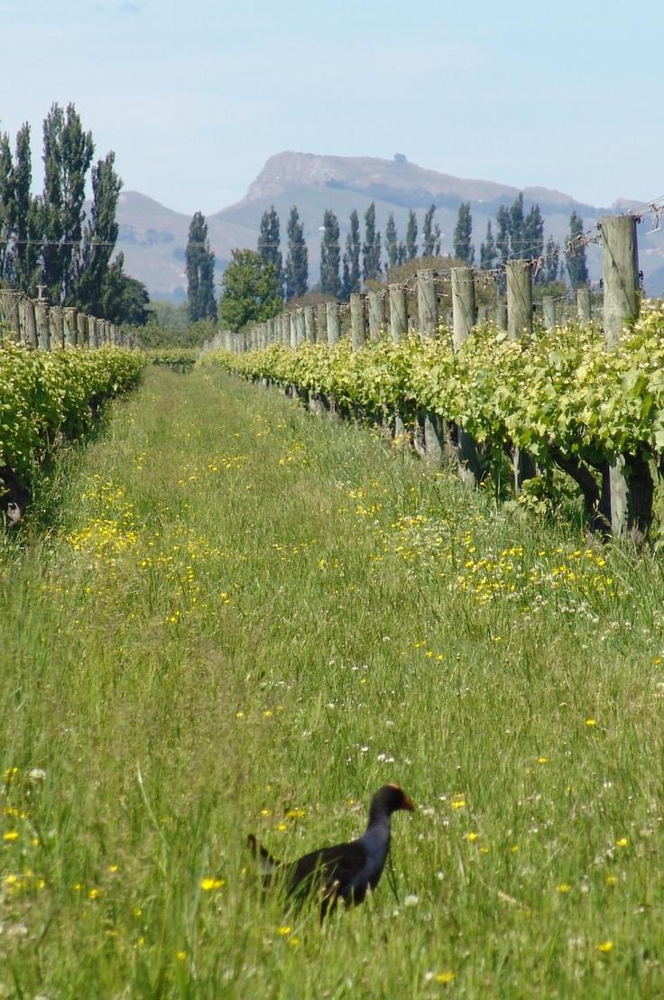Hawkes Bay winery, New Zealand, Maimai Creek - with pukeko (NZ swamp hen) strutting across the foreground