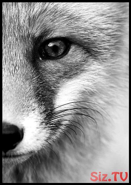 Postkarte fotografierter Fuchs in Schwarzweiss. Fotografie Tierkarte monochrme …, #Ansic …