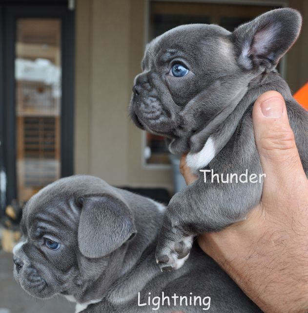 Canine Hypothyroidism What You Need To Know French Bulldog