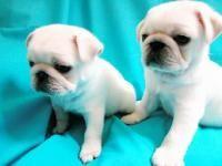 Resultado de imagen para perros pug bebes blancos