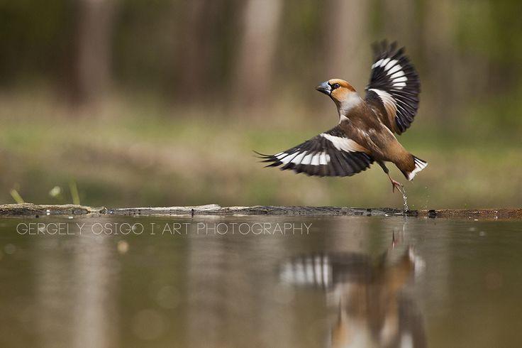 Hawfinch Start by Gergely Csigo on 500px