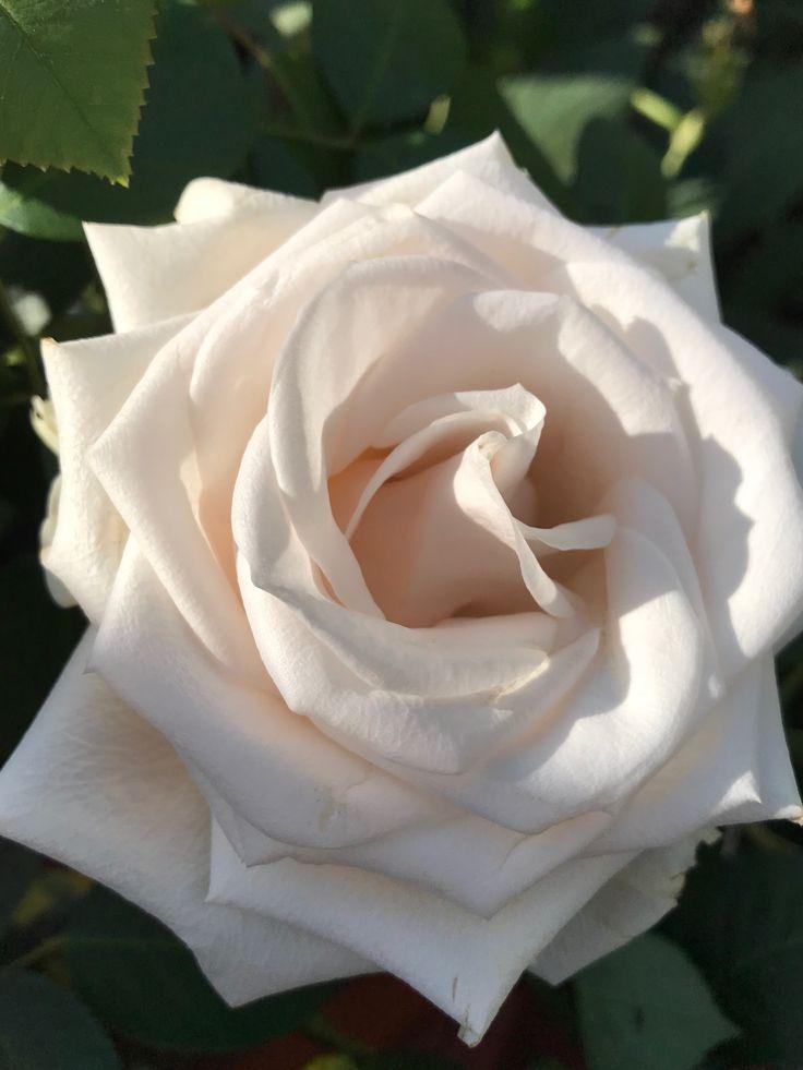 Beautiful white rose ❤️