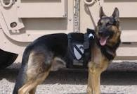 Don't forget our four legged heroes!: Military Dogs, K9 Heroes, Militaryhero Support,  German Police Dogs, Dogs Heroes,  German Shepherd Dogs,  Alsatian, Inspiration Animal, Legs Heroes