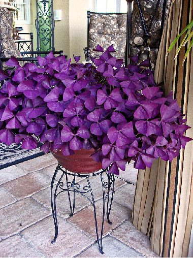 """A big container full of """"Charmed Wine"""" Oxalis! Aka butterfly plant!! OMG LOVE"""