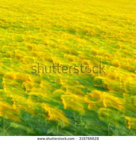 размытый фон, пейзаж поле подсолнухов - фото