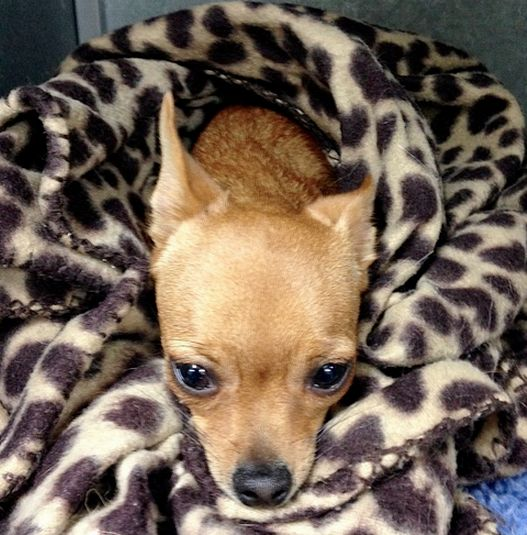Tilly the Chihuahua sedated and waiting to be desexed.  We love your pets as we love our own.