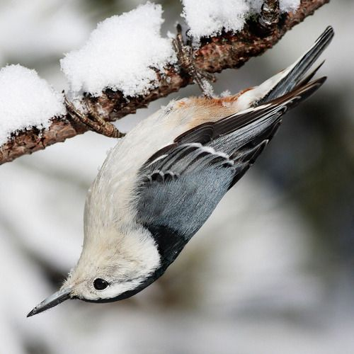 White-breasted Nuthatch (Sitta carolinensis) is a small songbird which breeds in old-growth woodland across much of temperate North America.