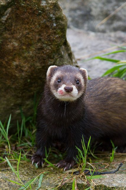 European Polecat by AlexEames on Flickr.