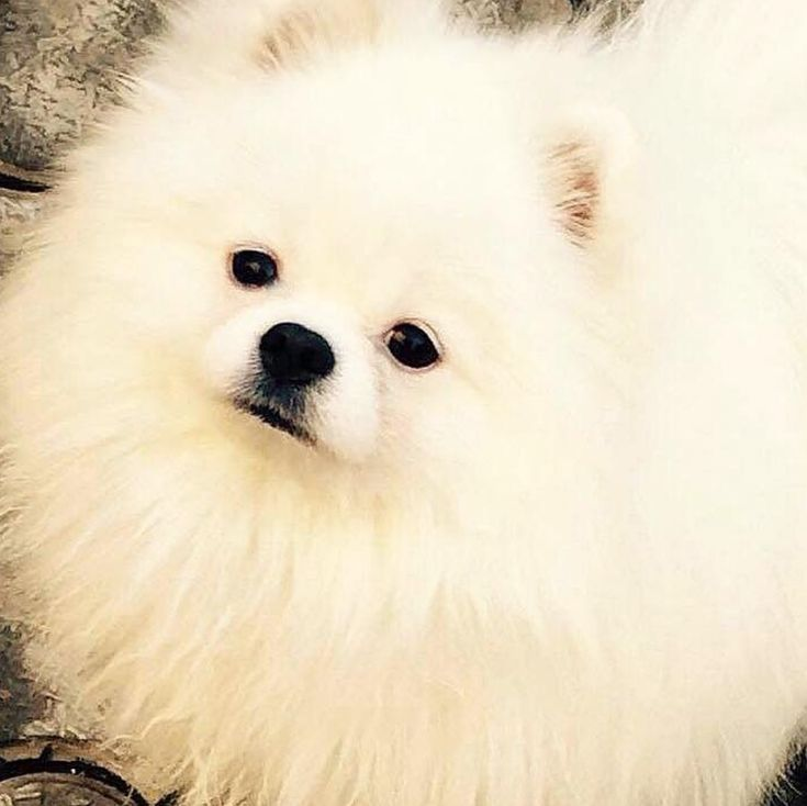 This Pomeranian looks like ours but with one key difference - ours is a complete asshole and that's putting it nicely