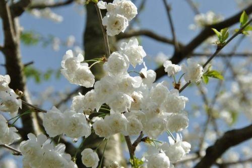 Prunus avium 'Plena' #flowering #tree #trees www.vdberk.co.uk