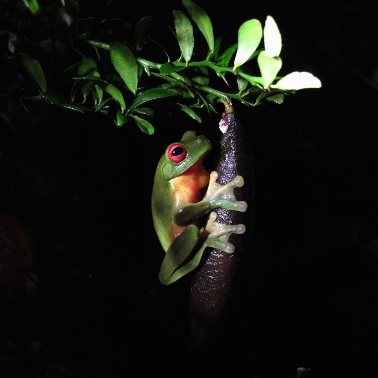 Red Eyed Tree Frog - A red eye tree frog clings to a fingerlime at night in the Border Ranges of NSW, Australia. Though very small, and in large numbers the cacophany of sound from these delicate creatures is almost deafening.