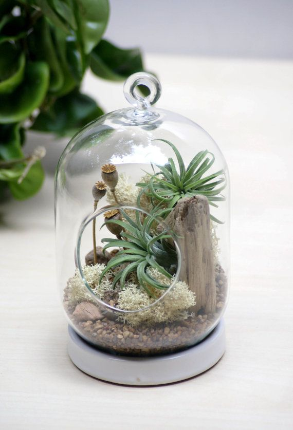 Poppy Seed Tabletop/Hanging Air Plant Terrarium   Is A Modern Shaped  Terrarium, With Live Green Air Plant ( Known As Tillandsia ) And Preserved