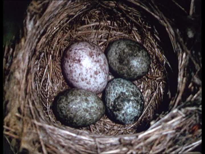 Cuckoo Egg in amongst the Reed Warbler eggs.  Dieses hochwertige Rights Managed HD-Stock Video über Teichrohrsänger / Kuckuck / Kuckucksei / Nest / Deutschland kann online lizenziert werden und steht bereit zum Download.