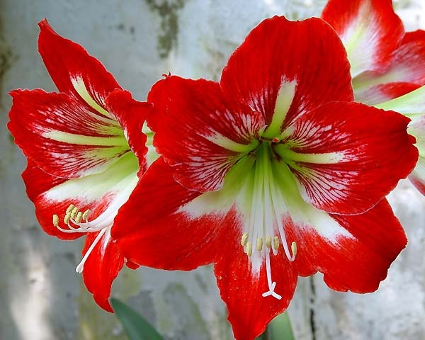 17 best images about hippeastrums amaryllis lilies on for Amaryllis hippeastrum