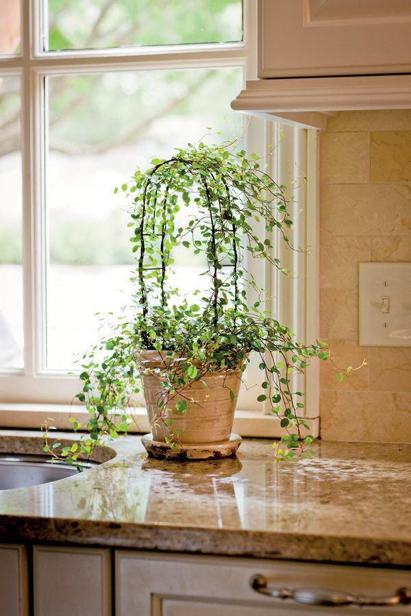 Most topiaries at garden centers are created from English ivy (Hedera helix), but if you would like to make your own, start with an angel vine (Muehlenbeckia complexa). It does well in bright-to-low light, indoor warmth, and slightly moist soil. Plant a 4-inch pot of angel vine in a premoistened soilless potting mix, such as Miracle-Gro Potting Mix. Insert your topiary frame on top of the plant. Wrap the plant around the frame to train it, snipping away the excess. If aphids become a…