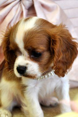 I love King Charles Cavaliers! So cute! That's why I have 2 Cockaliers (Cocker spaniel & King Charles Cavalier)