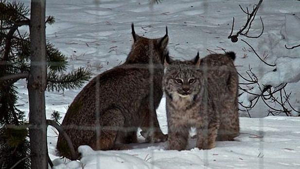 Lynx in Banff National Park CTV Calgary News Parks canada