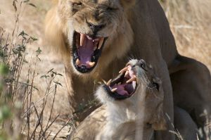 A pair of mating lions snarl at each other just before they separate. Ruaha National Park, Tanzania.