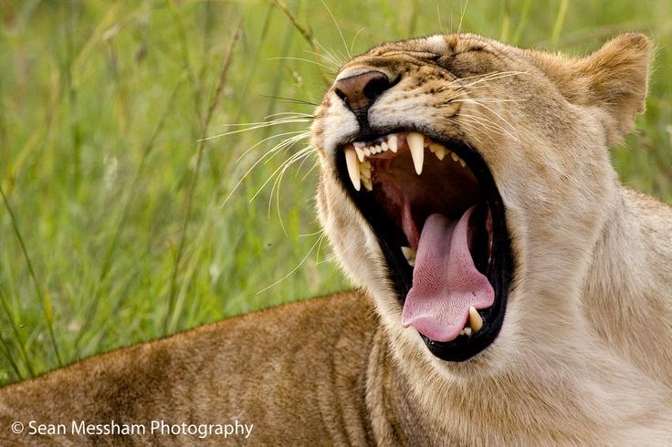 Taken in the Masai Mara in Kenya.  By Sean Messham