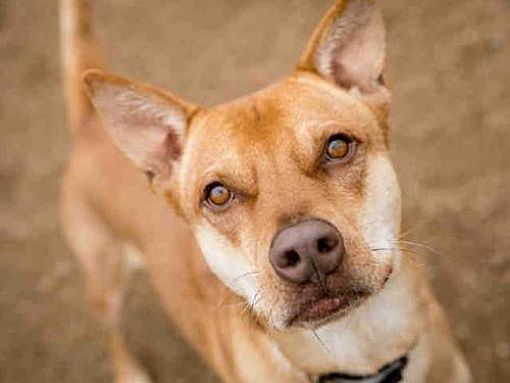Austin Tx Australian Kelpie Meet Chester A Dog For Adoption Kitten Adoption Labrador Retriever
