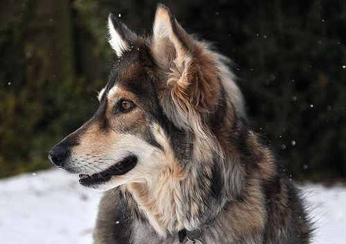 Northern Inuit Dog                                                                                                                                                                                 More