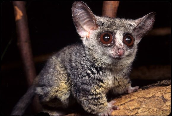 Galagos, also known as bushbabies, bush babies or nagapies ...