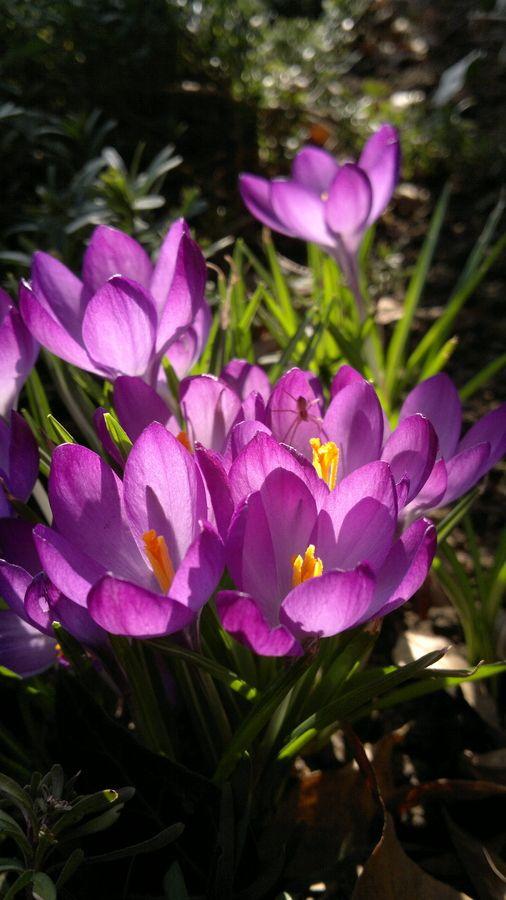 Crocus - Purple dreams by Katja Sen, via 500px