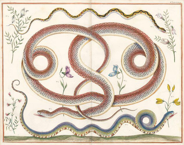 I just discovered this Albertus Seba: Coral Snake, Viper and Others from India on LiveAuctioneers and wanted to share it with you: www.liveauctioneers.com/item/49594162
