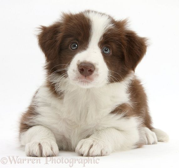 Cute chocolate Border Collie puppy, 7 weeks old