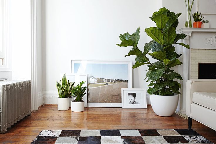 The Fiddle Leaf Fig Indoor Plants Houseplants And