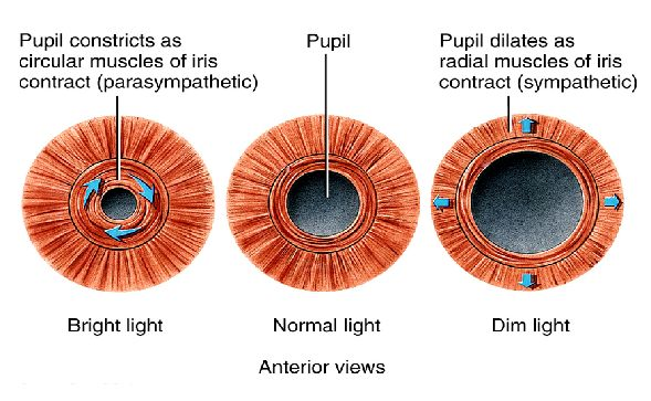Dilator Amp Sphincter Contraction Of Sphincter Muscle