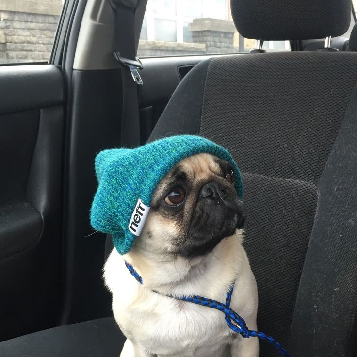 Moose Pug, Pug Extraordinaire — Break out the beanies!