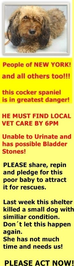 SUPER MEGA URGENT Brooklyn Center COCO – A1053879 ***MUST FIND LOCAL VET CARE BY 6PM*** Coco Cocker Spaniel Mix Unable to Urinate and Has Possible Bladder Stones! FEMALE, BROWN COCKER SPANIEL, 7 YR OLD – STRAY – NO HOLD STRAY http://nycdogs.urgentpodr.org/coco-a1053879/