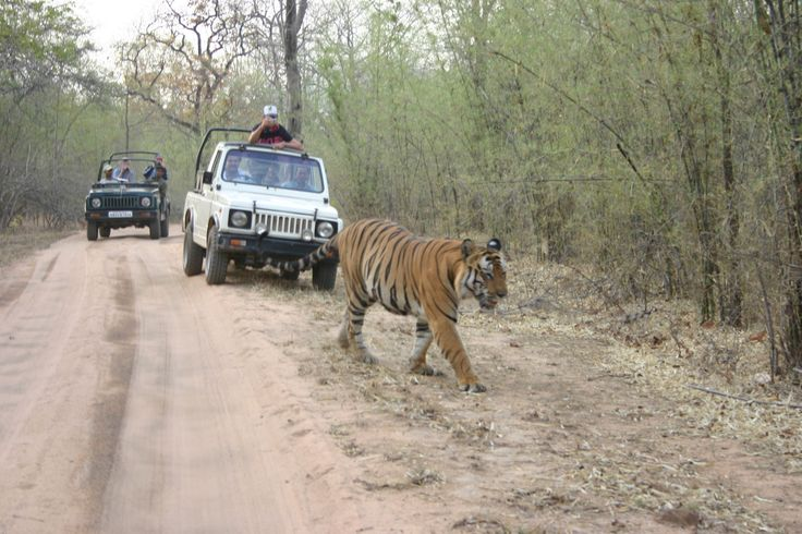 Interestingly at the beginning of the 19th century tigers were so numerous in India that man were under threat, so it became the official policy to encourage the killing of tigers as rapidly as possible, rewards being paid for their destruction in many localities. Today its a very different story, with a marked decline and position on the endangered species list.