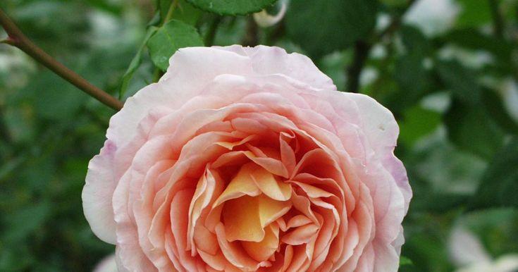 Englische Rose, Strauchrose, Kletterrose. Züchter: Austin, 1985