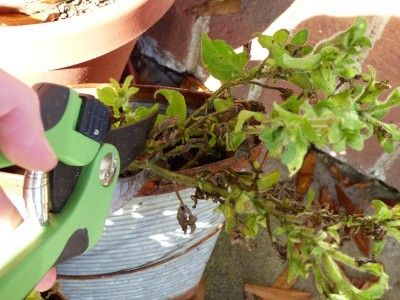 Pruning Petunias: Information On Cutting Back Petunia Plants - Even if you deadhead your petunias furiously, clipping off all those faded blossoms, the stems just keep growing longer. Do petunias need pruning? Yes, they do. Click here for more information about how to cut back petunias.